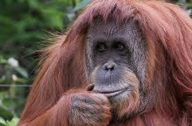 orangutan a